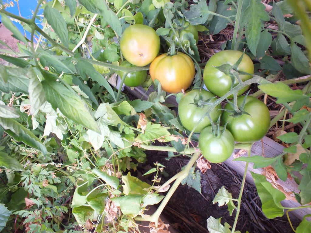 Pomidory w lipcu i sierpniu