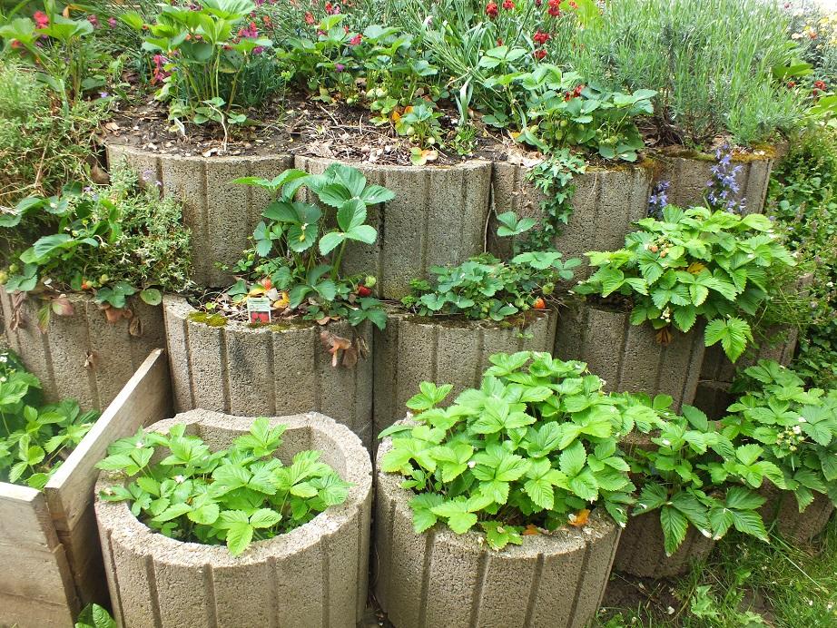uprawa truskawki na obrzeżach grządki